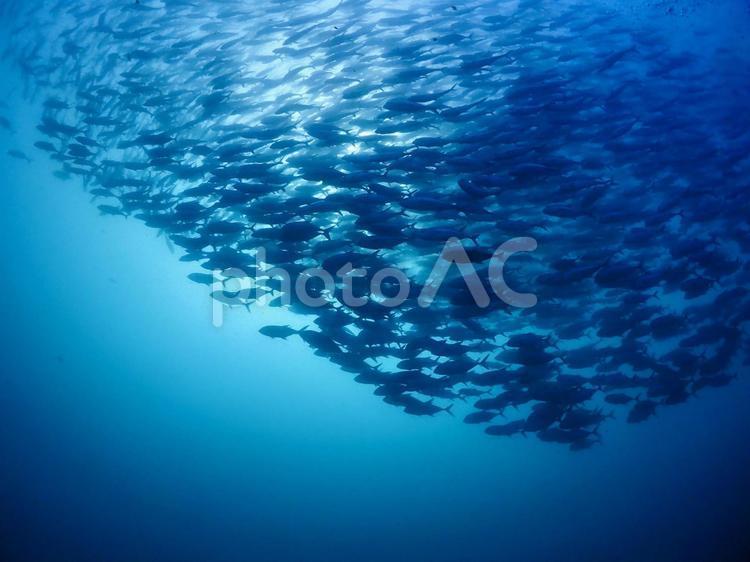 ギンガメアジの群れ フィリピンバリカサグ島の写真