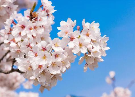 Cherry blossom cherry blossom