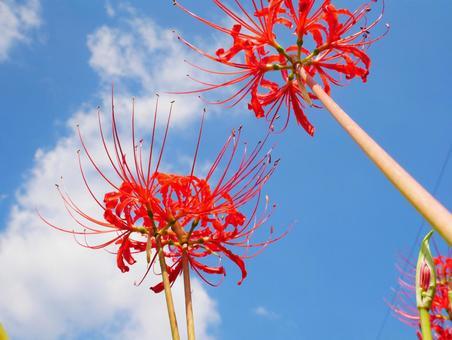 푸른 하늘과 피안 꽃