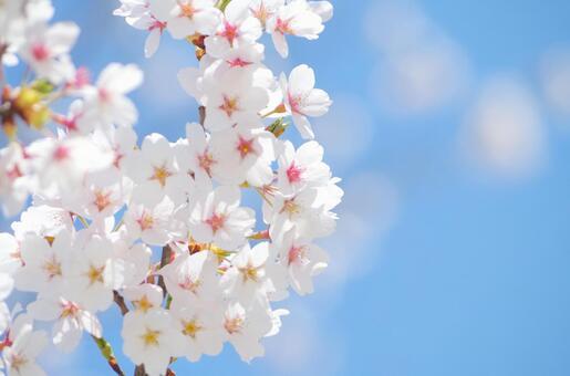 樱花和蓝天