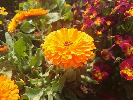 Orange yellow marigold