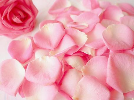 粉紅色玫瑰花瓣花