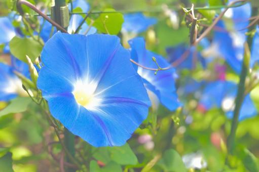 明亮的天藍色牽牛花牽牛花天藍色
