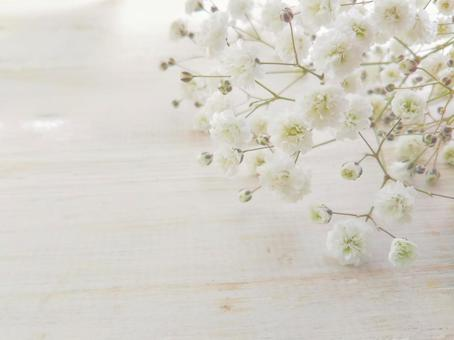 Gypsophila white background