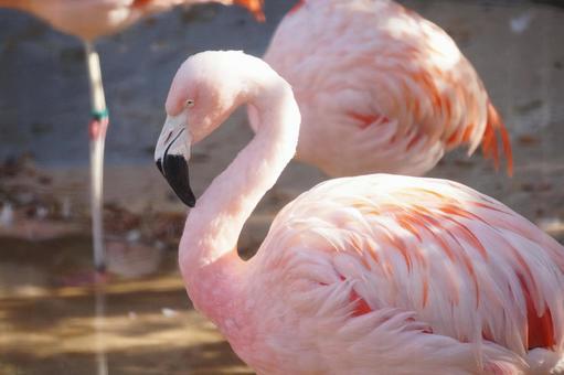 Flamingo at Tennoji Zoo