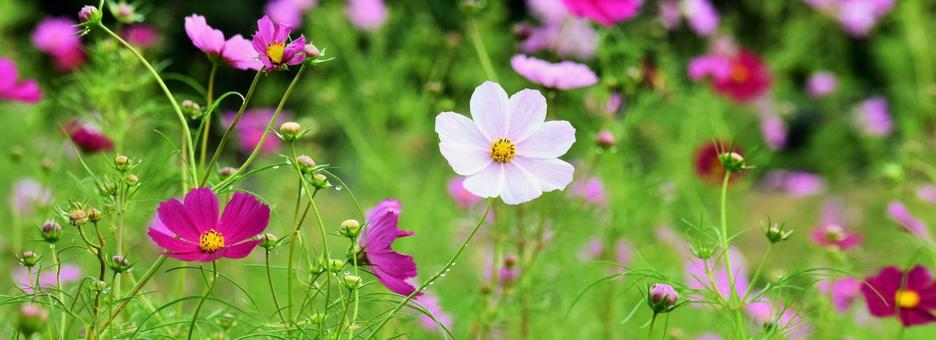Cosmos, autumn cherry blossoms, header material