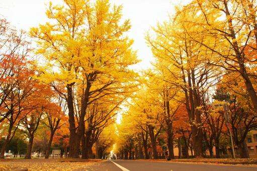 A row of ginkgo trees at Hokkaido University