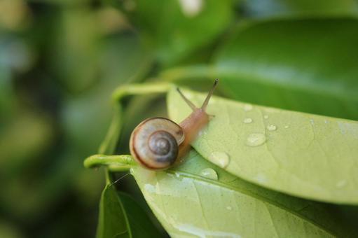 Snail of rain
