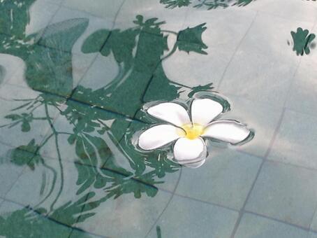 Bali Plumeria