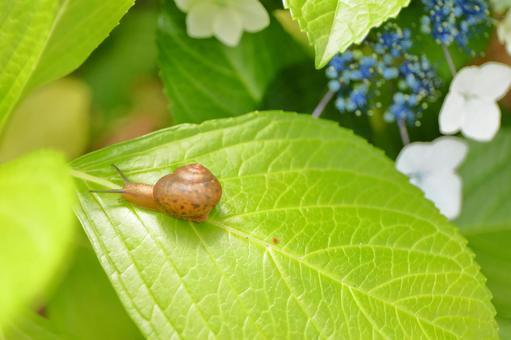 繡球花和蝸牛5