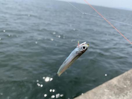 Sardines caught in Sabiki