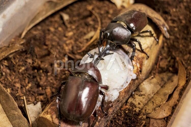 餌を奪い合う二匹のカブトムシの写真