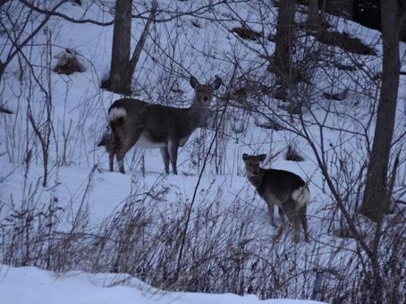 겨울 에조 사슴 3