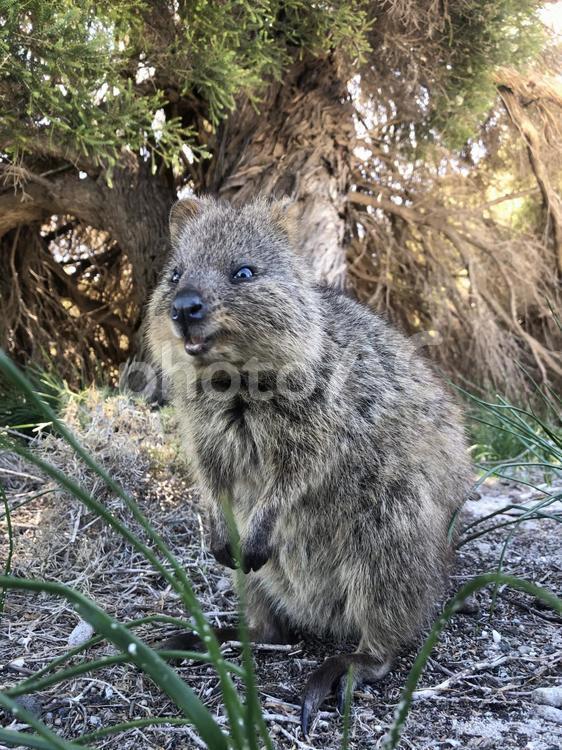 ワラビー ク アッカ 絶滅の危機にある西オーストラリアの「クアッカワラビー」とは?