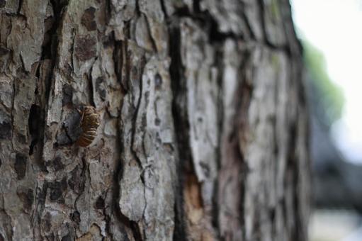 Cicada perching on a tree