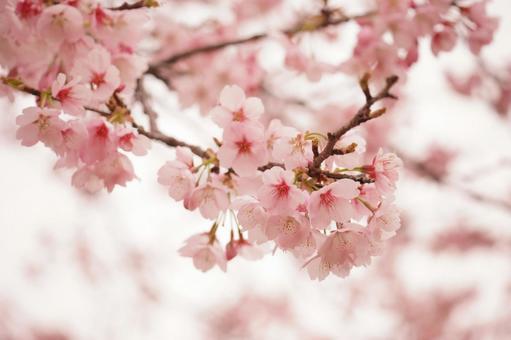 선명한 분홍색의 벚꽃