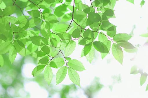Young leaves of zelkova Fresh green leaves Zelkova
