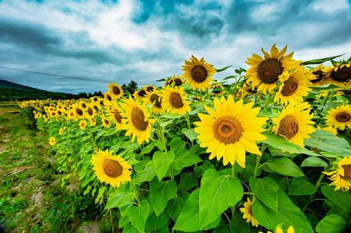Cloudy sunflowers (7) Search word / sunflower creator name / YUTO @ PHOTOGRAPHER