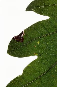 녹색 잎 の 에센 (잎) (6)