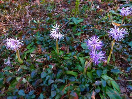 Katakuri flower