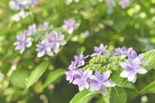 Purple forehead Hydrangea Hydrangea 2