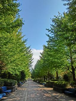Green Ginkgo biloba tree 2