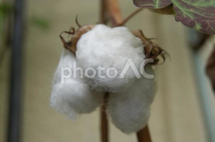 綿花の写真