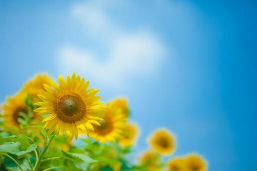 Sunflower field 68