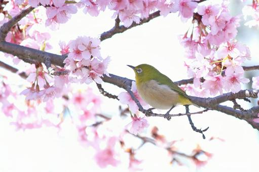 Mejiro on cherry blossoms