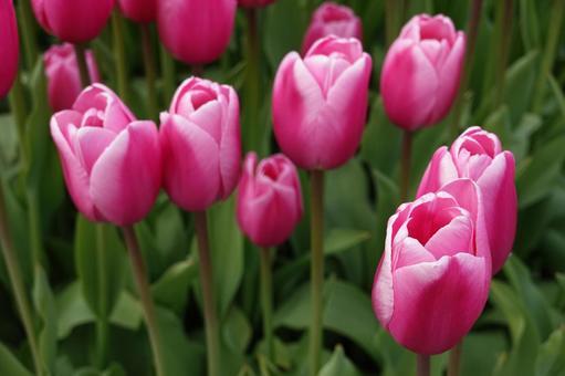 분홍색 튤립 꽃밭
