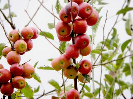 Princess apple tree