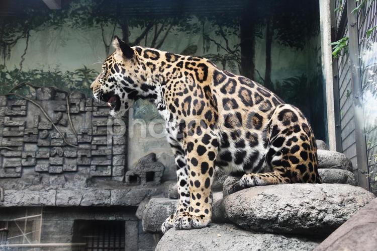天王寺動物園 ジャガー 昼寝の写真