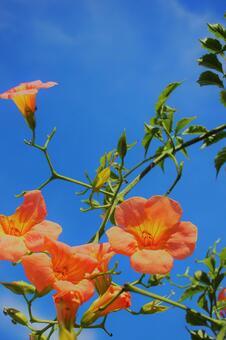 푸른 하늘과 초여름의 능소화