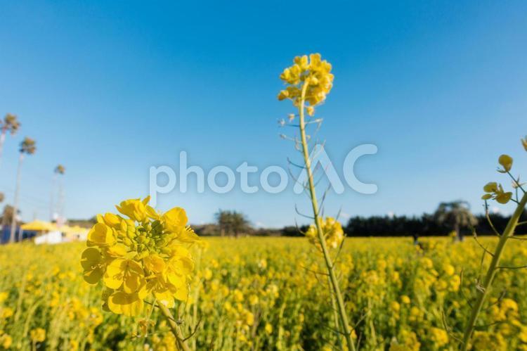 [愛知県] 渥美半島 菜の花畑の写真