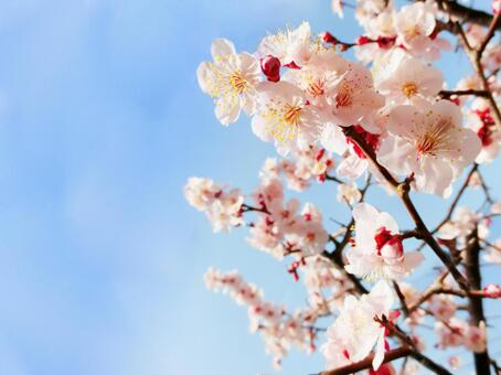 Cherry blossoms and sky 04