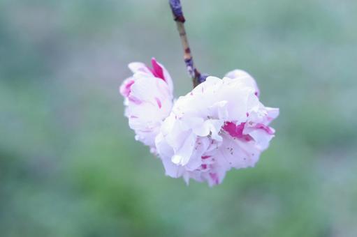 Peach blossom 09