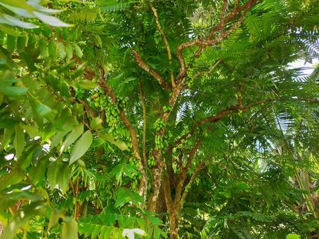 세이셸 비린비 나무 나가바노고렌시