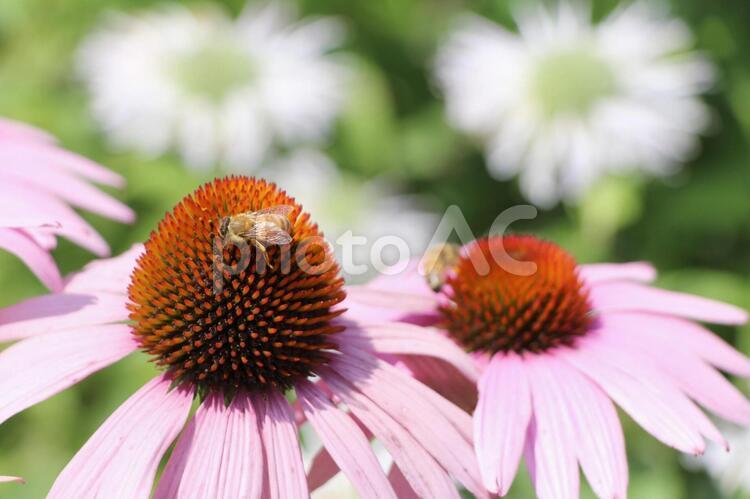 エキナセアとハチの写真