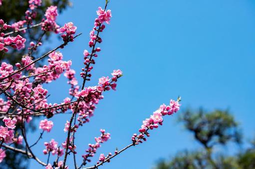 Blue sky and flowers of Hanamomo