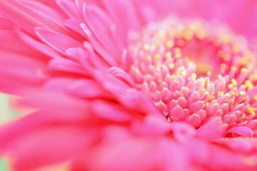 꽃 꽃 배경 꽃 업 분홍색 배경 거베라 핑크 꽃 배경 자료