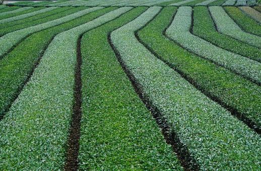 Tea garden. Landscape