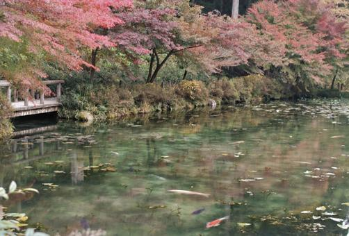 Autumn leaves and Monet's pond