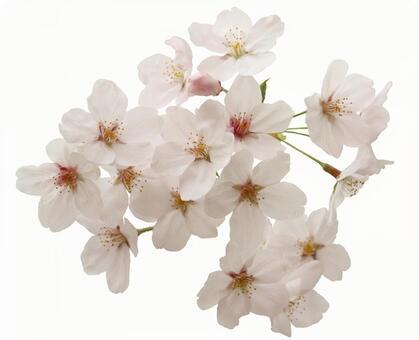 Crop pictures Sakura petals 16 - 06