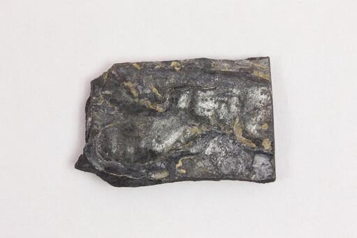 種子蕨類植物化石
