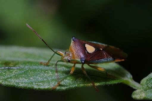 Macro shot of Esakimon fox bug