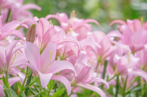 浪漫色粉紅百合