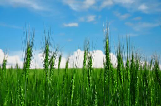 Barley and blue sky