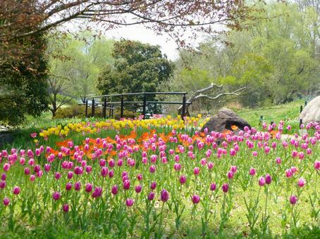 Scenery of tulip.
