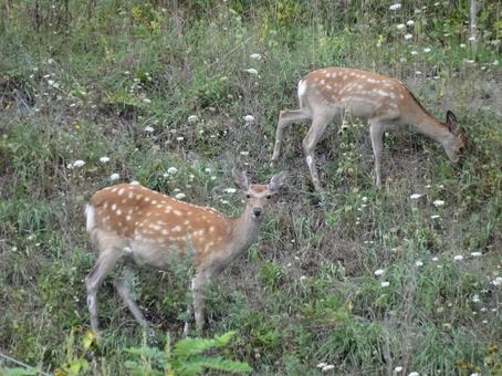 September Ezo deer 1
