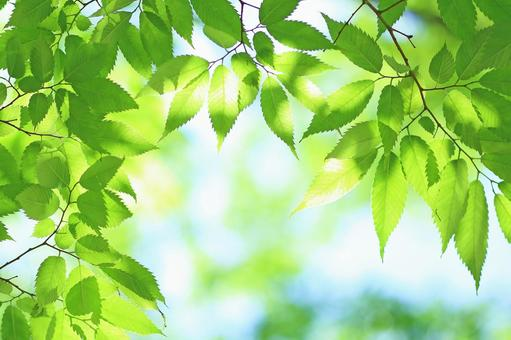 Fresh green leaves Wakaba Keyaki Zelkova